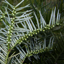 Cephalotaxus harringtonia  2