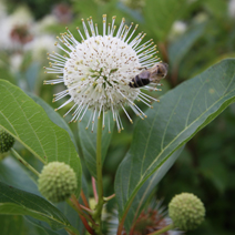 Cephalanthus occidentalis  2
