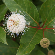 Cephalanthus occidentalis  1