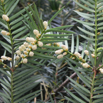 Cephalotaxus harringtonia  9