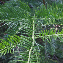 Cephalotaxus harringtonia  5