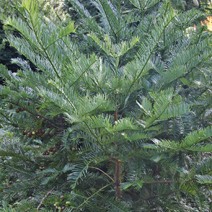Cephalotaxus harringtonia  7