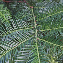 Cephalotaxus harringtonia  3