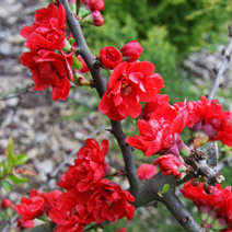 Chaenomeles japonica 'Red Joy' 2