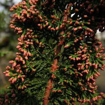Chamaecyparis pisifera 'Teddy Bear' (Ch. obtusa 'Teddy Bear') 3