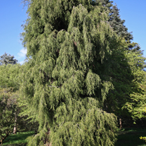 Chamaecyparis lawsoniana 'Filiformis'