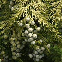 Chamaecyparis lawsoniana 'Winston Churchill'