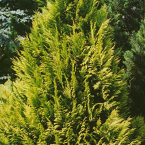 Chamaecyparis lawsoniana 'Golden Wonder' 1