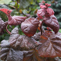 Corylus avellana 'Red Majestic' PBR 4