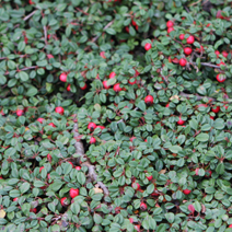 Cotoneaster procumbens 'Streib's Findling' (C. microphyllus 'Streib's Findling')