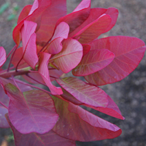 Cotinus coggygria 'Old Fashioned' 3