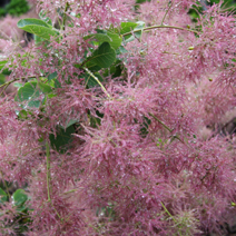 Cotinus coggygria 'Smokey Joe'