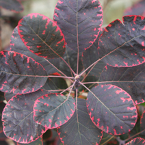 Cotinus coggygria 'Royal Purple' 2