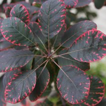Cotinus coggygria 'Royal Purple' 3