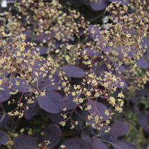 Cotinus coggygria 'Royal Purple' 1