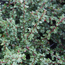Cotoneaster cochleatus 'Schneider' 2
