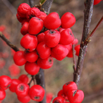 Cotoneaster franchetii 4