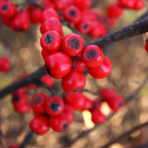 Cotoneaster franchetii 5