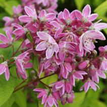 Deutzia x hybrida 'Strawberry Fields' 2