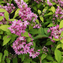 Deutzia x hybrida 'Strawberry Fields' 3