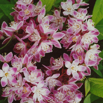 Deutzia x hybrida 'Strawberry Fields' 1