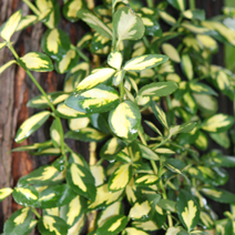 Euonymus fortunei 'Interbolwi' (syn. Euonymus fortunei 'Blondy') 2