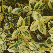 Euonymus fortunei 'Emerald'n Gold' 12