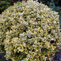 Euonymus fortunei 'Canadale Gold' 2