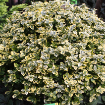 Euonymus fortunei 'Canadale Gold' 1