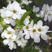 Exochorda macrantha 'The Bride' 5