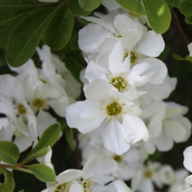 Exochorda macrantha 'The Bride' 6