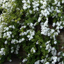 Exochorda macrantha 'The Bride' 7