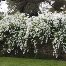 Exochorda macrantha 'The Bride' 4