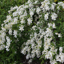 Exochorda macrantha 'The Bride' 1
