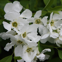 Exochorda macrantha 'The Bride' 2