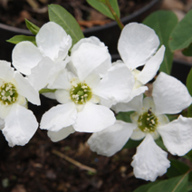 Exochorda macrantha 'The Bride' 3