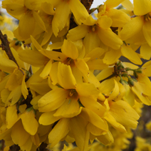 Forsythia x intermedia 'Goldzauber' 2
