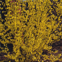 Forsythia x intermedia 'Goldzauber' 3