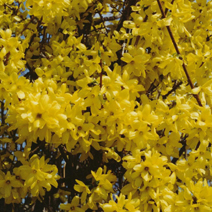 Forsythia x intermedia 'Lynwood' 1