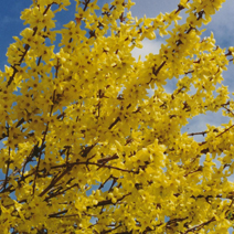 Forsythia x intermedia 'Lynwood' 3