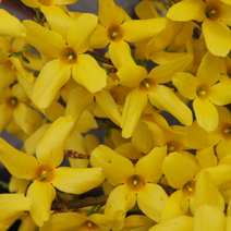 Forsythia x intermedia 'Week-End' ® (F. x int. 'Courtalyn') 8