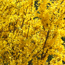Forsythia x intermedia 'Week-End' ® (F. x int. 'Courtalyn') 2