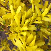 Forsythia x intermedia 'Lynwood' 5