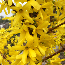 Forsythia x intermedia 'Lynwood' 6