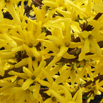 Forsythia x intermedia 'Lynwood' 4