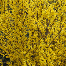 Forsythia x intermedia 'Week-End' ® (F. x int. 'Courtalyn') 7