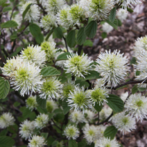 Fothergilla major 5