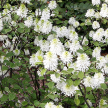 Fothergilla major 10