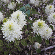 Fothergilla gardenii 'Blue Shadow' 2