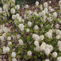 Fothergilla major 12